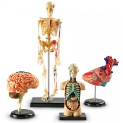 Anatomy Models Set