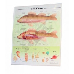 3-D Relief Poster, Fish
